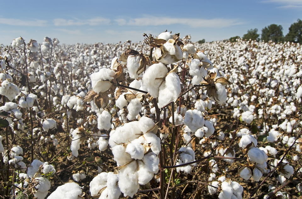 cotton-4649804_960_720